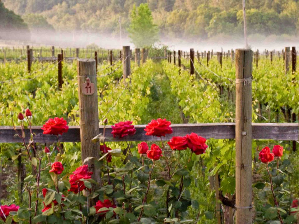 Big Stripe Cat Property Photography: early morning vineyard with red roses in front and tule fog in the back.